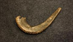 Shofar from Congregation Anshei Sfard's (Louisville, KY) Sanctuary at the Dutchman's Lane Location